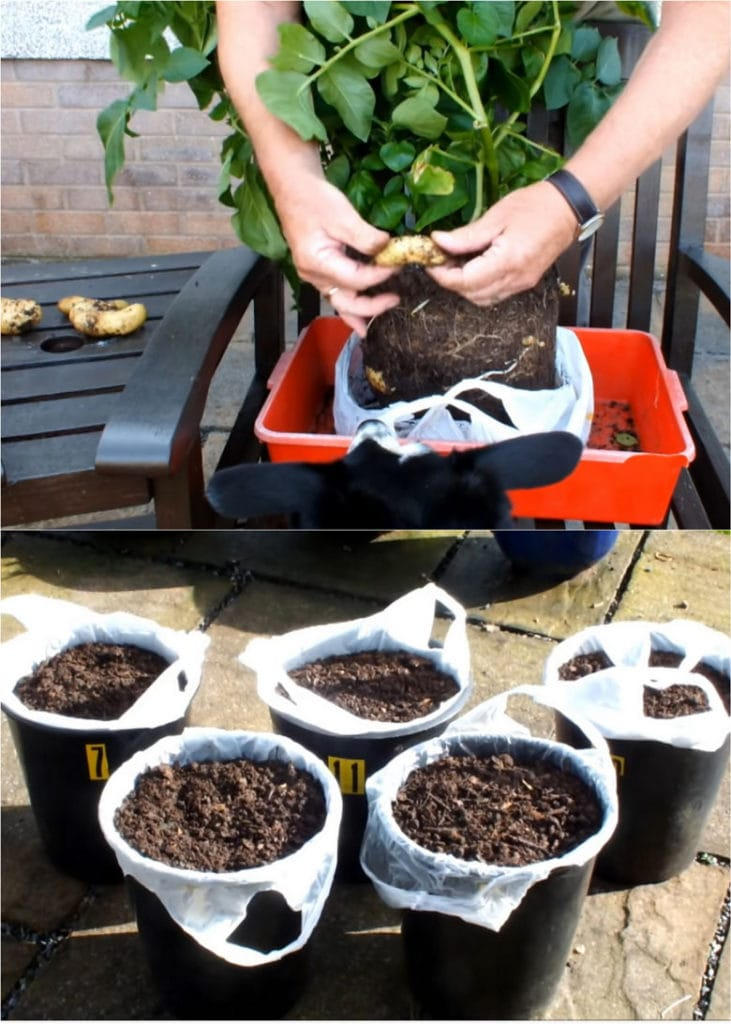 planting potatoes in plastic bags