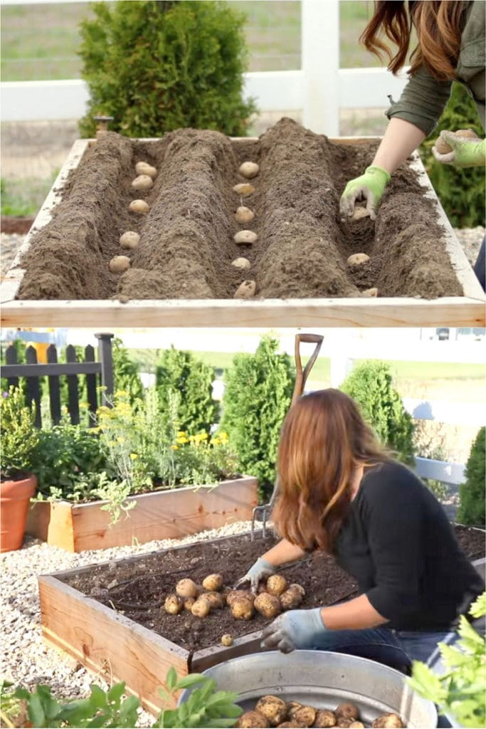 planting potatoes in small gardens in wooden box planters or raised beds