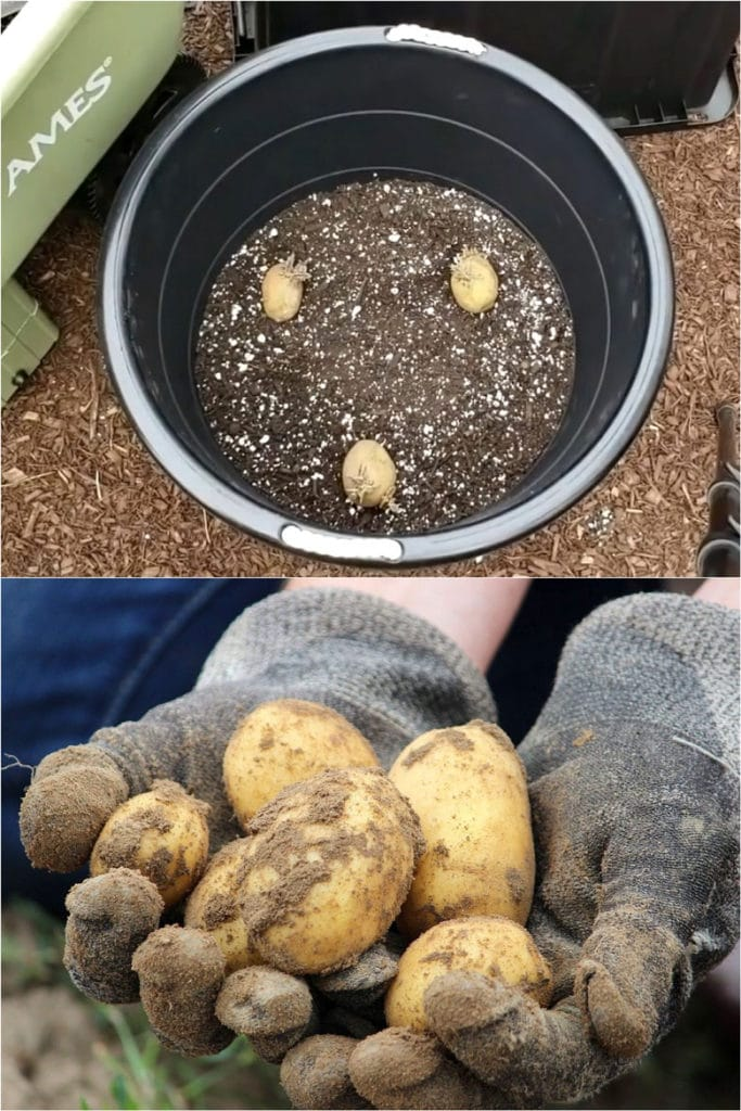 How many potatoes to plant in a pot