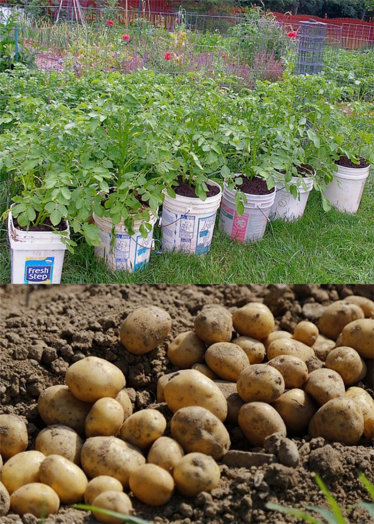 plant potatoes in 5 gallon buckets, and get big yields