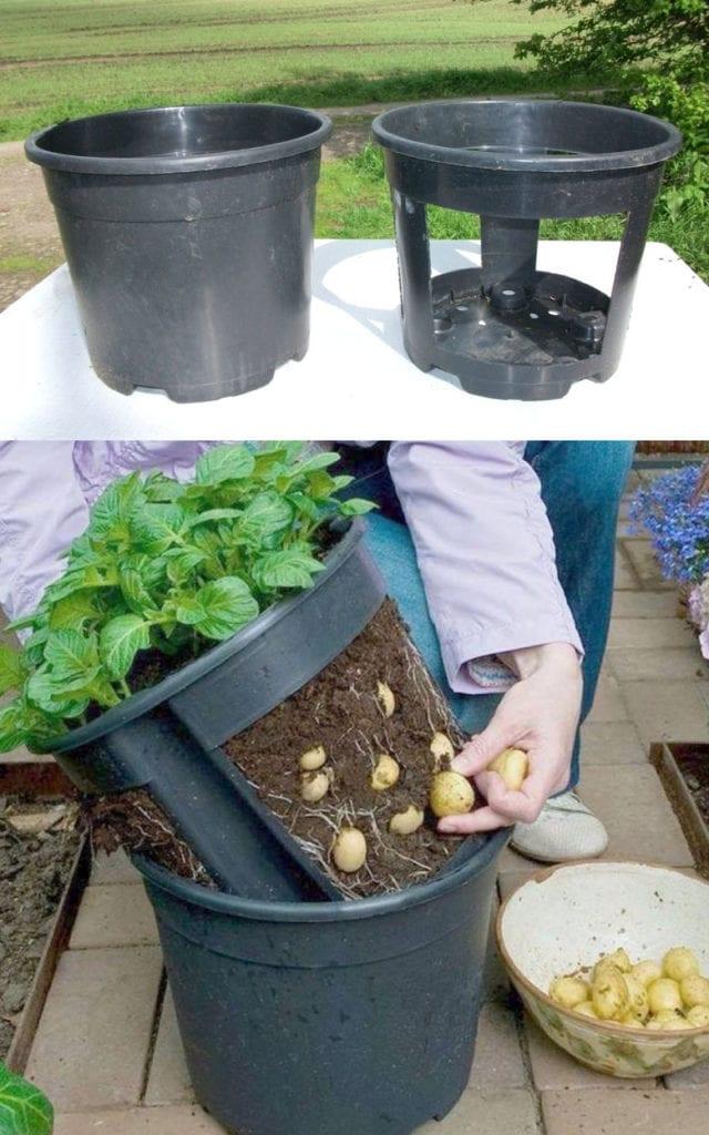grow potatoes in 5 gallon bucket or 10 gallon pot