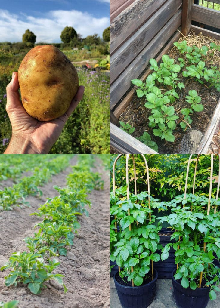 How to grow potatoes in garden soil, pots, or containers easily with big yields! Great tips & best ways to plant, harvest & store potatoes.