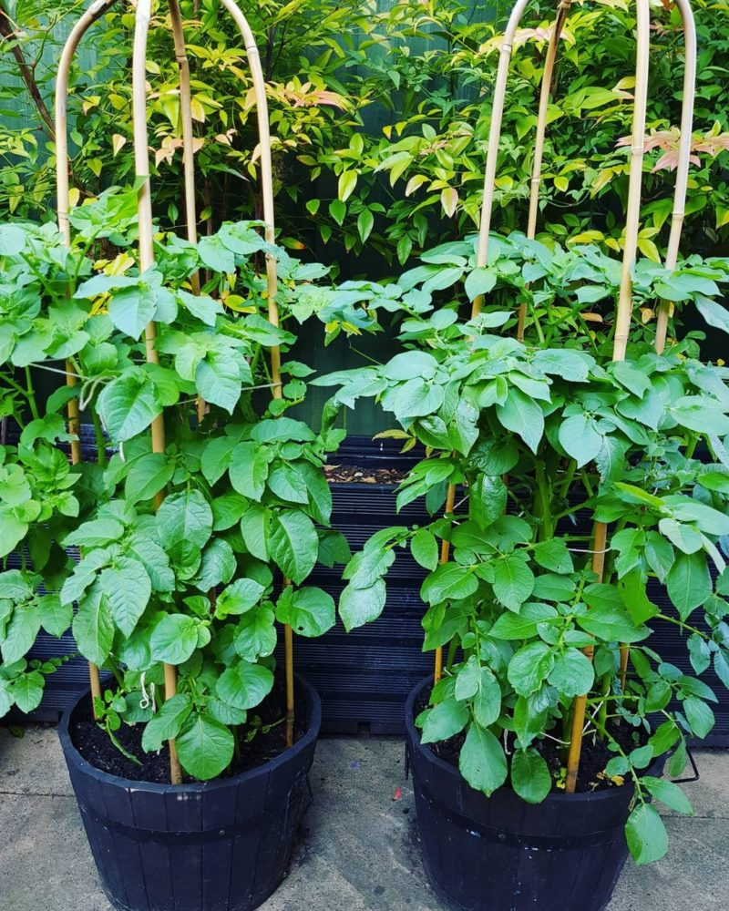 planting potatoes in pots with trellis