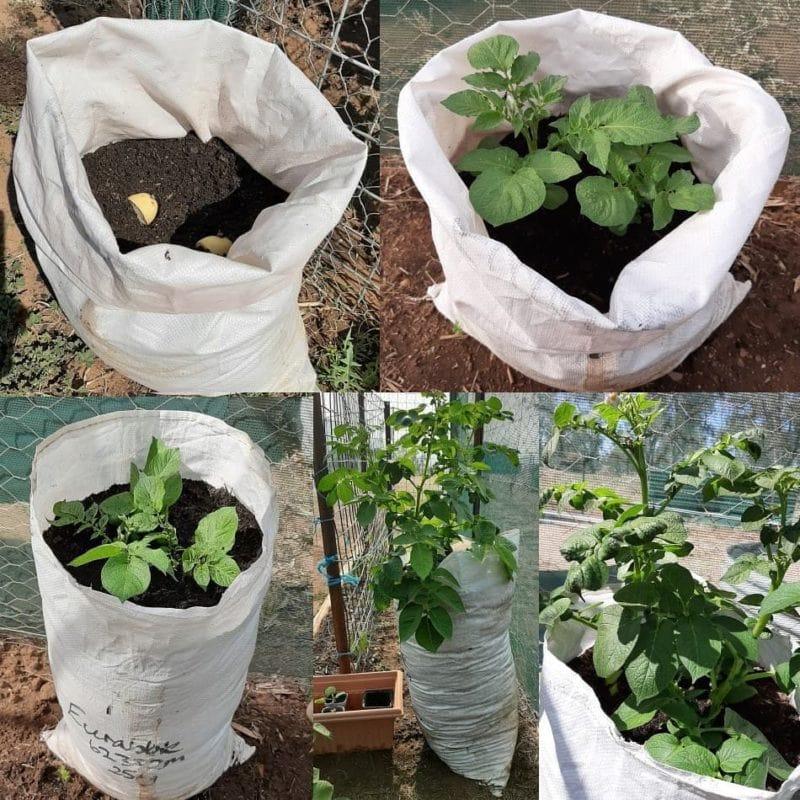 growing potato in bags