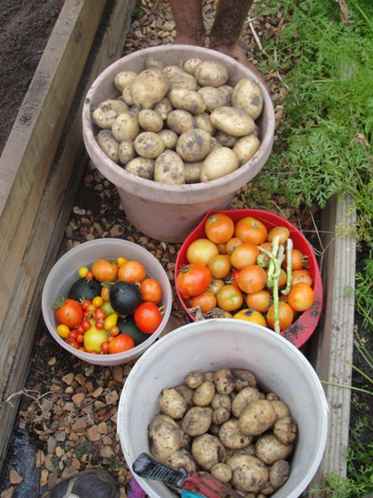 fresh dug potato harvest
