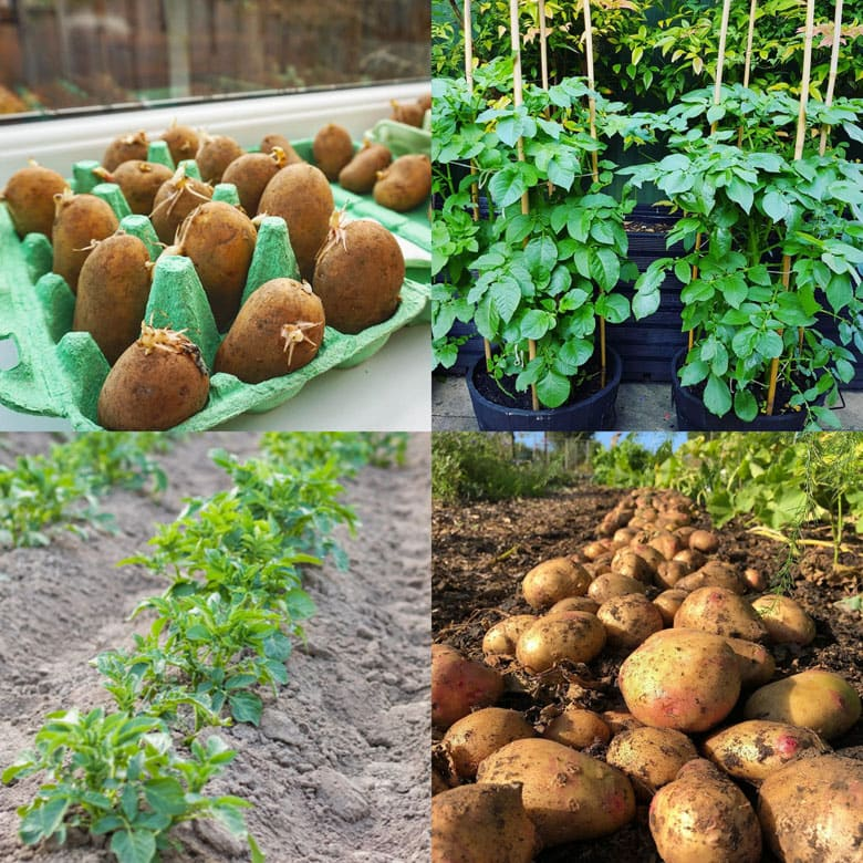 how to grow potatoes in a raised bed or in the ground.