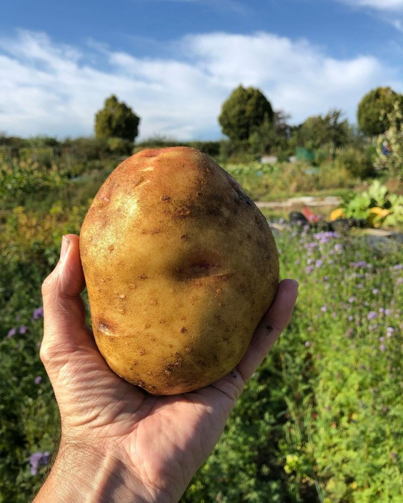 "late season ""Cara"" potato is a great variety for the home garden"