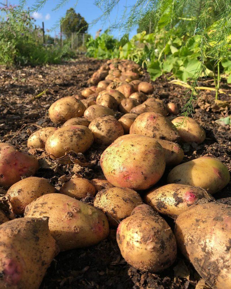 20' of abundant potato harvest in the garden