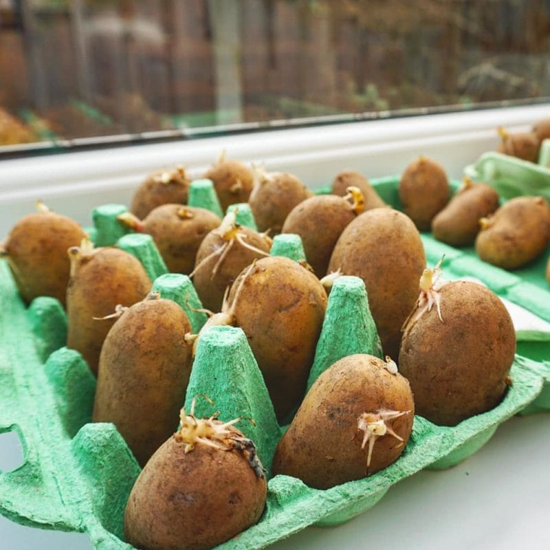 sprouting or chitting potatoes before planting