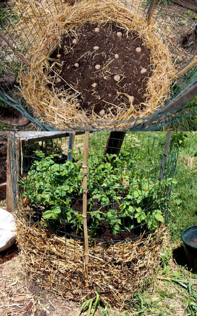 grow potatoes in DIY wire cage and straw