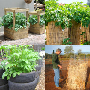 Why potato towers don't work! How to grow potatoes vertically in DIY wire cage, straw mound, bag, or wood box with big yields & best results