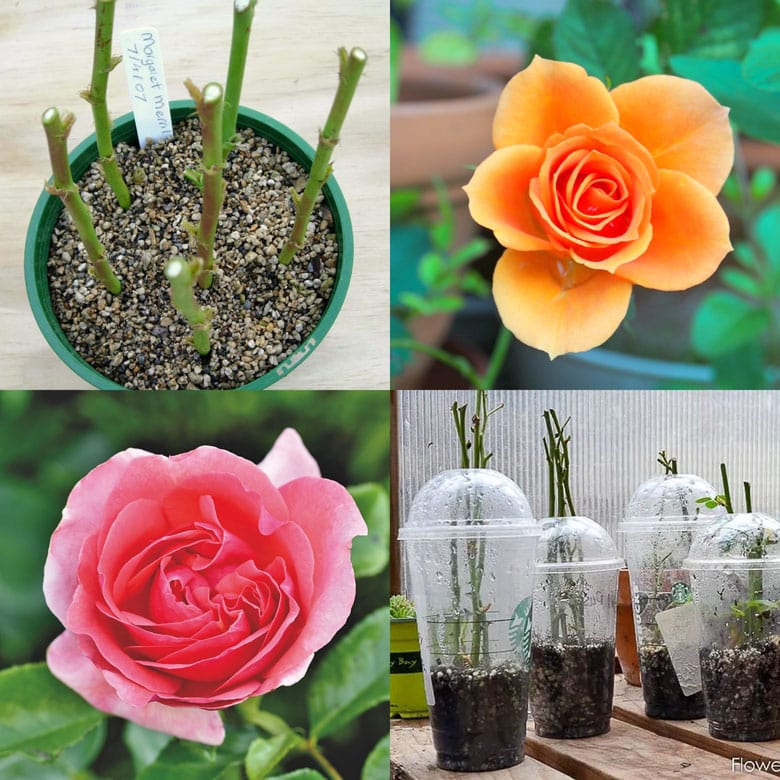 How to grow roses from cuttings easily! Compare the BEST & worst ways to propagate in water or soil, using potatoes, & root by air layering.