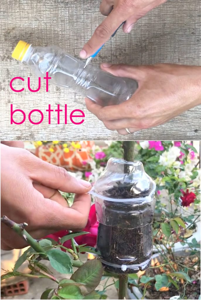 use plastic bottle to propagate plants and roses by air layering