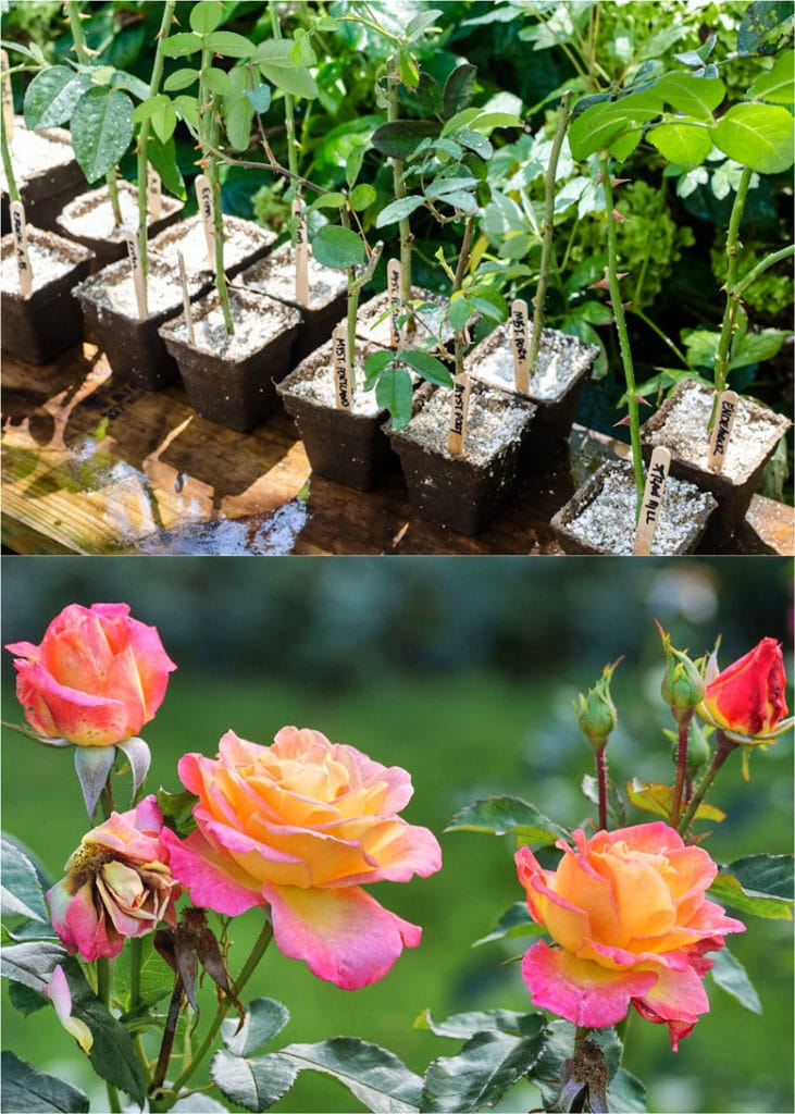 Grow roses from cuttings in soil or medium