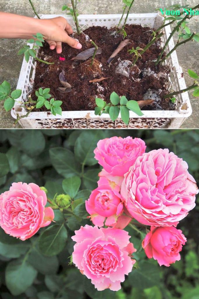 rose cuttings growing in Coco coir