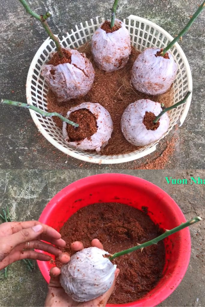 using Coco coir as propagation medium to root rose cuttings