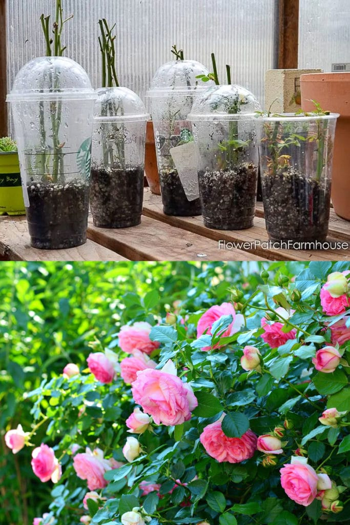 use recycled plastic cups to grow rose cuttings