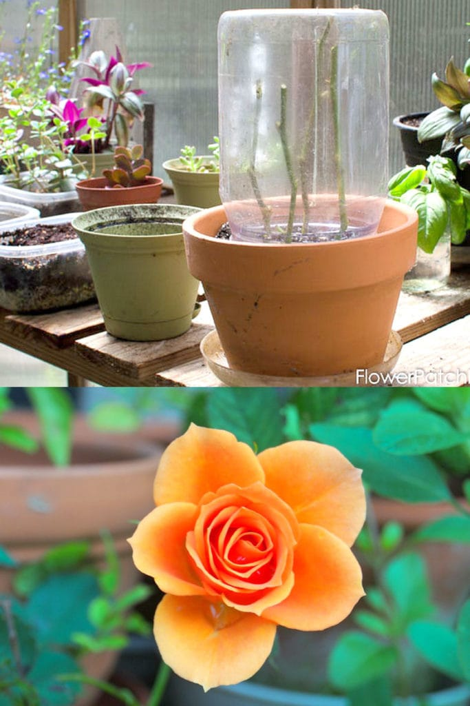 use  plastic or glass jar to protect rose cuttings