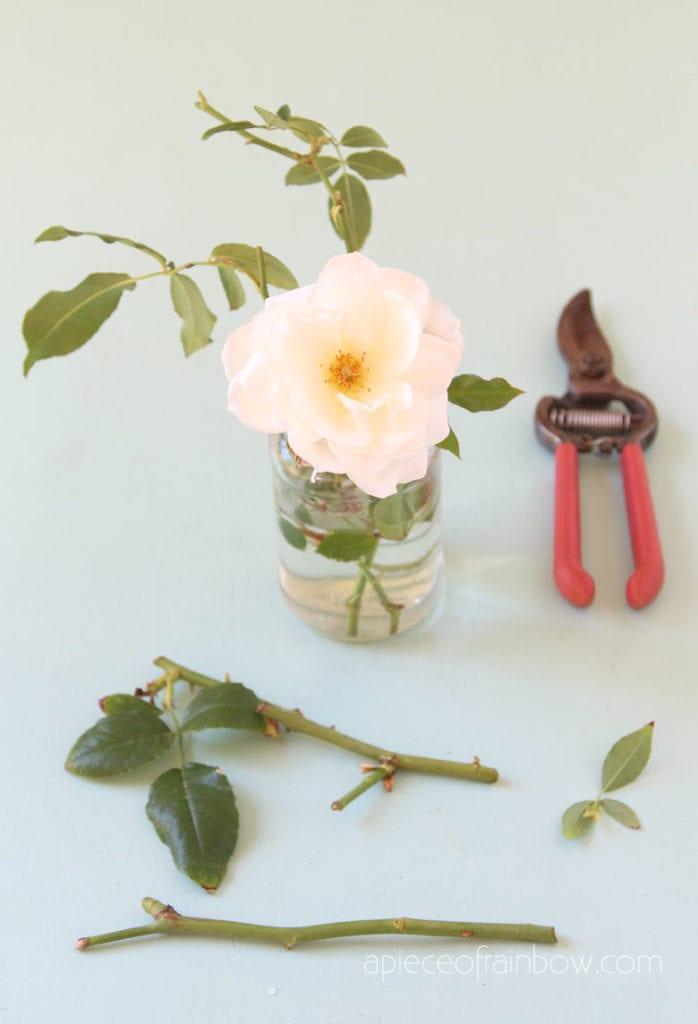 root rose cuttings in water
