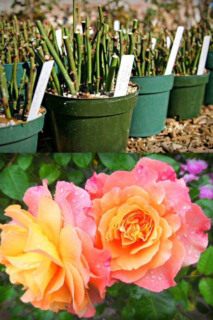 propagate rose cuttings in pots