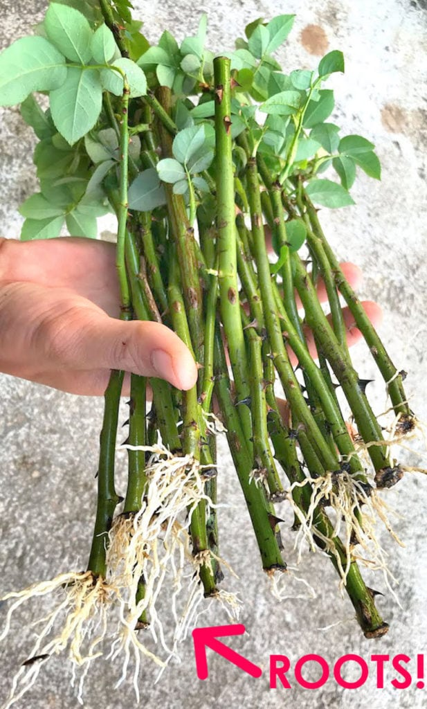 how to propagate rose cuttings to grow healthy roots