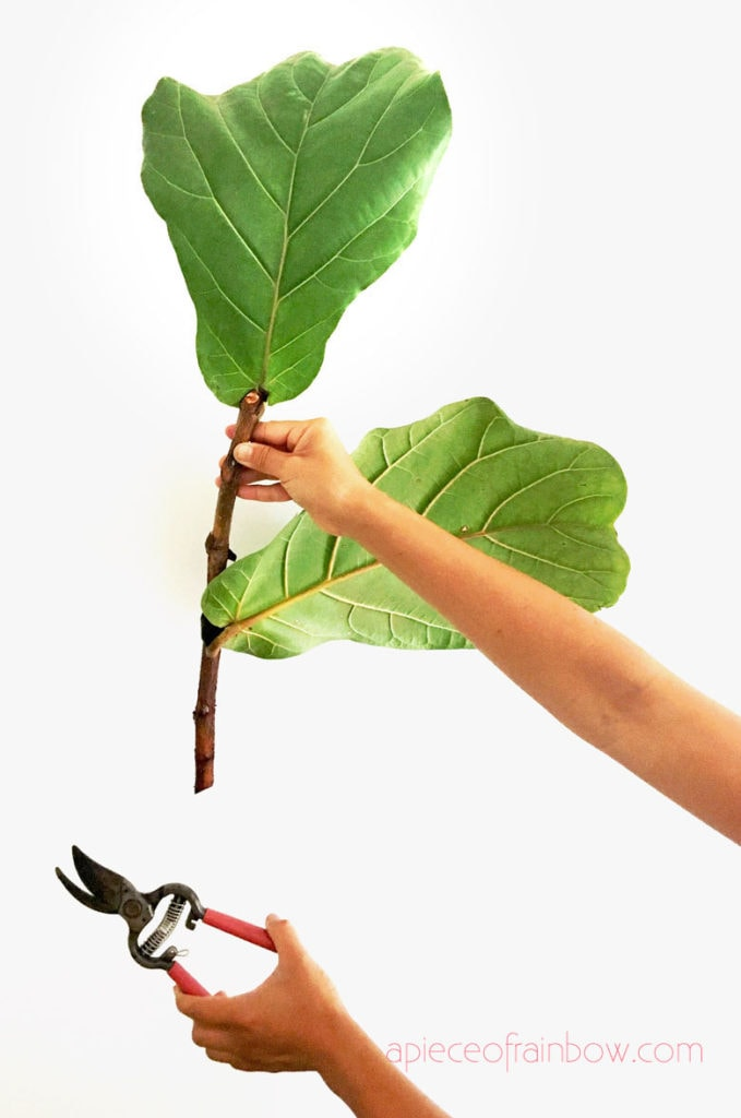 propagate Fiddle Leaf Fig cutting