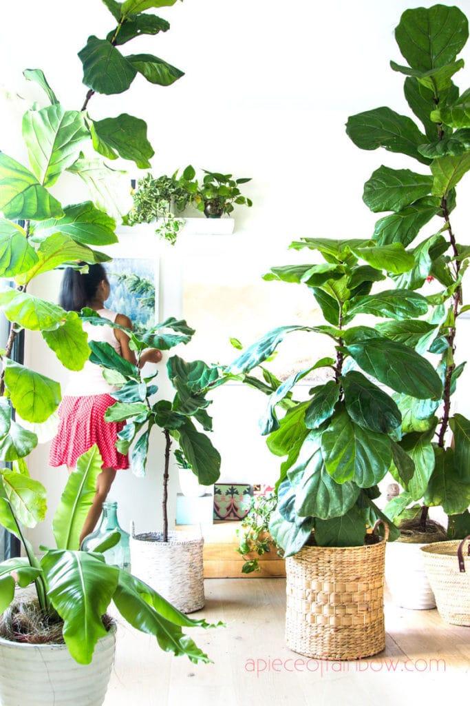 beautiful tall Fiddle Leaf Fig trees in modern boho living room