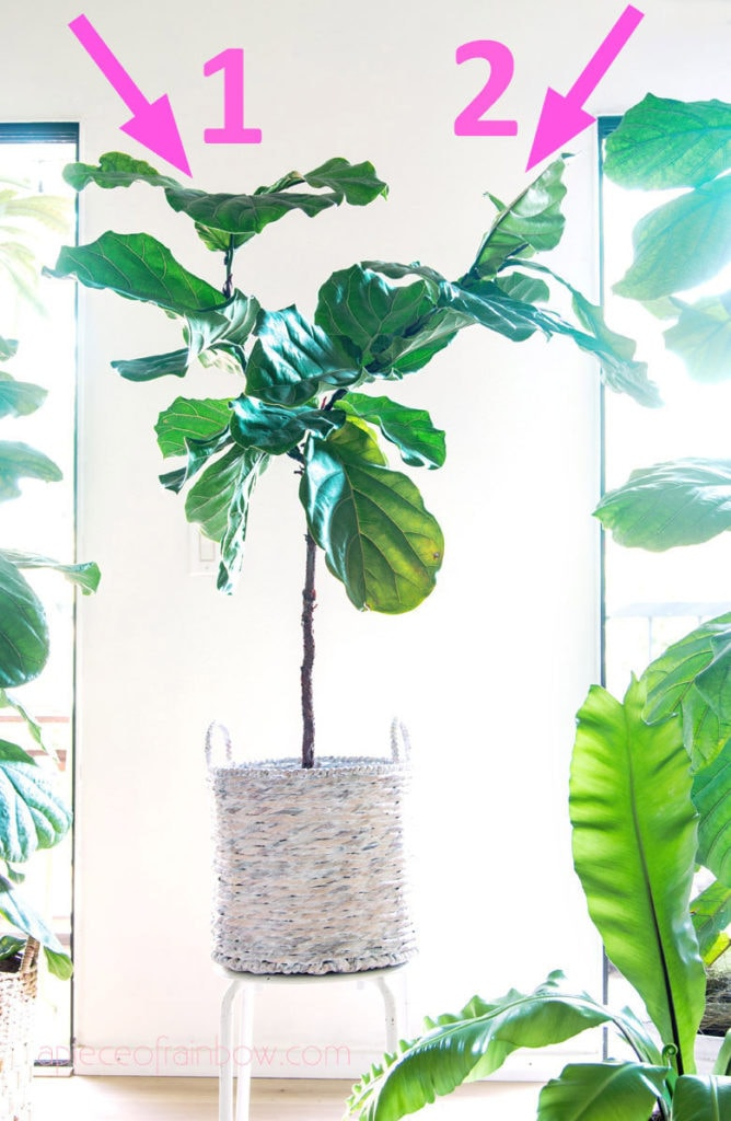 Fiddle Leaf Fig growing multiple branches