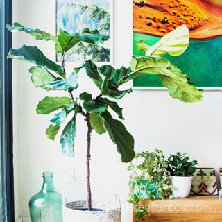 Best Fiddle Leaf Fig branching secret! 100% success growing multiple branches on 3 plants! Pruning, notching vs pinching methods compared