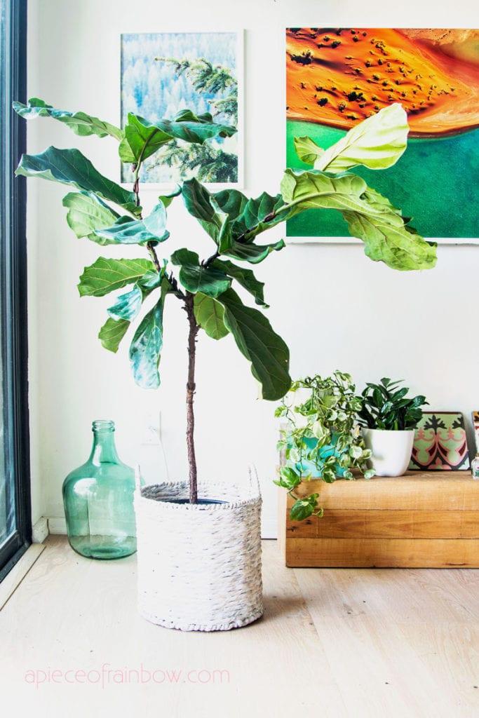 multi-stem Fiddle Leaf Fig in living room