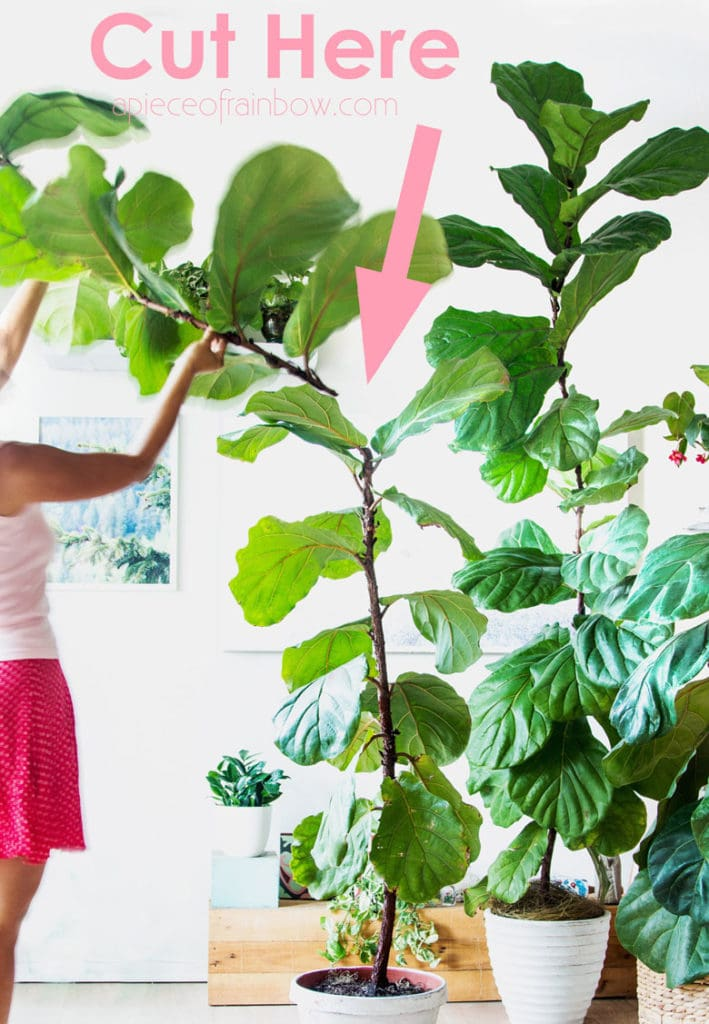 How to prune Fiddle Leaf Fig to grow multiple branches successfully.