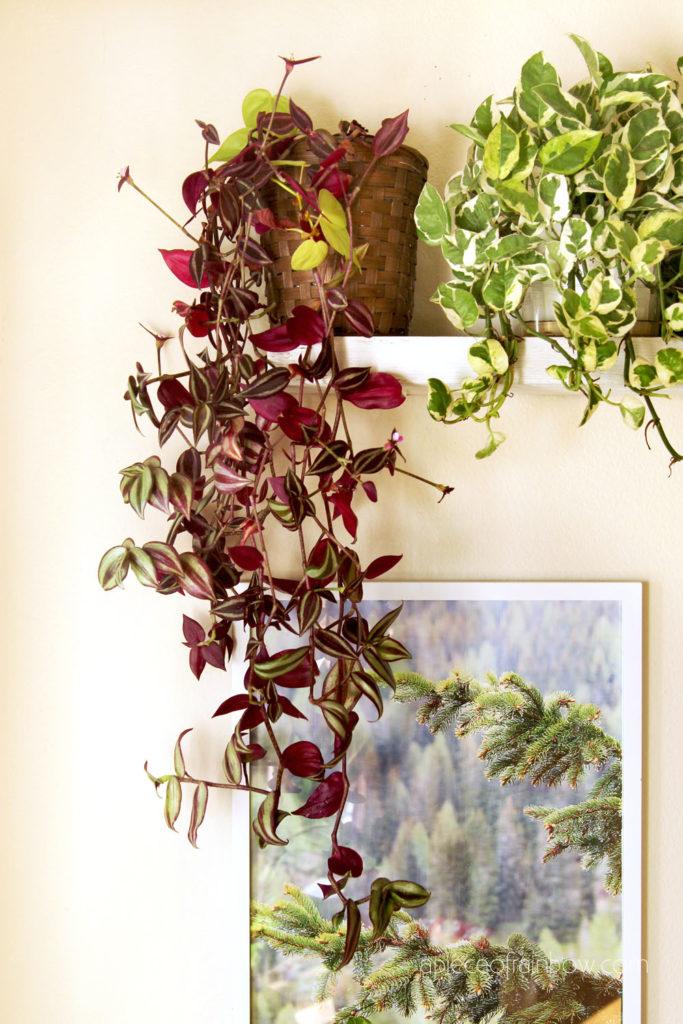 """Best indoor plants for low light conditions: Tradescantia zebrina, Wandering Jew and Epipremnum aureum """"Jade and Pearl"""" Pathos"""