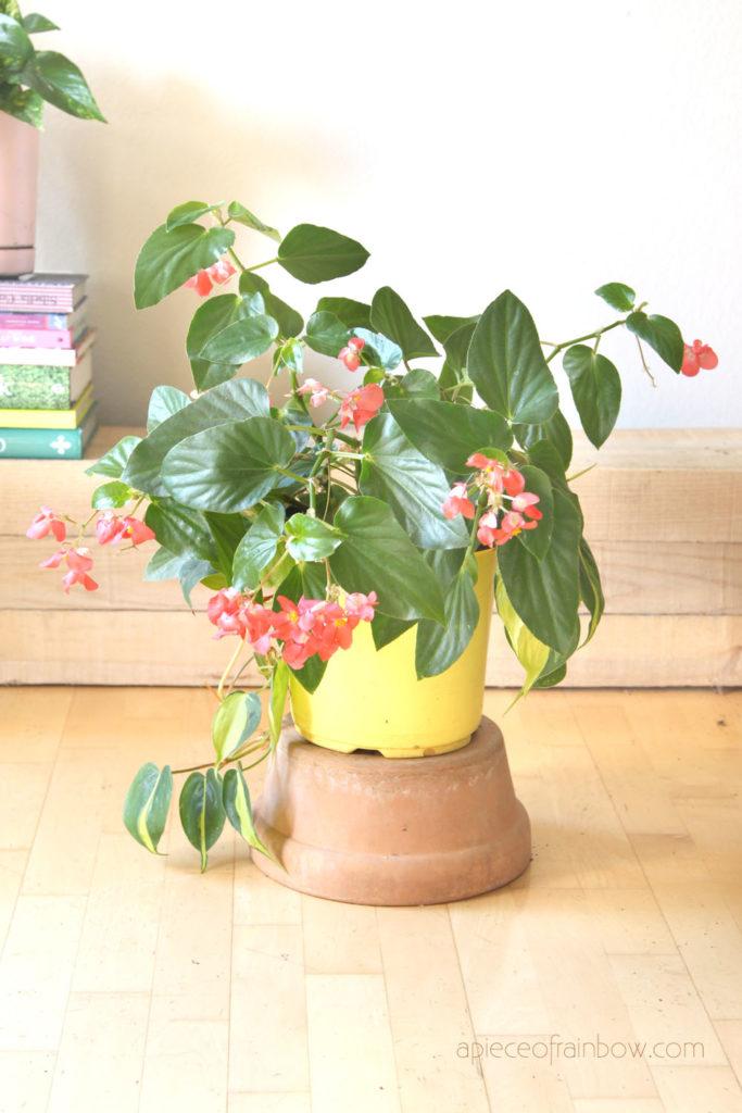 """Begonia """" Dragon Wing Pink"""""""