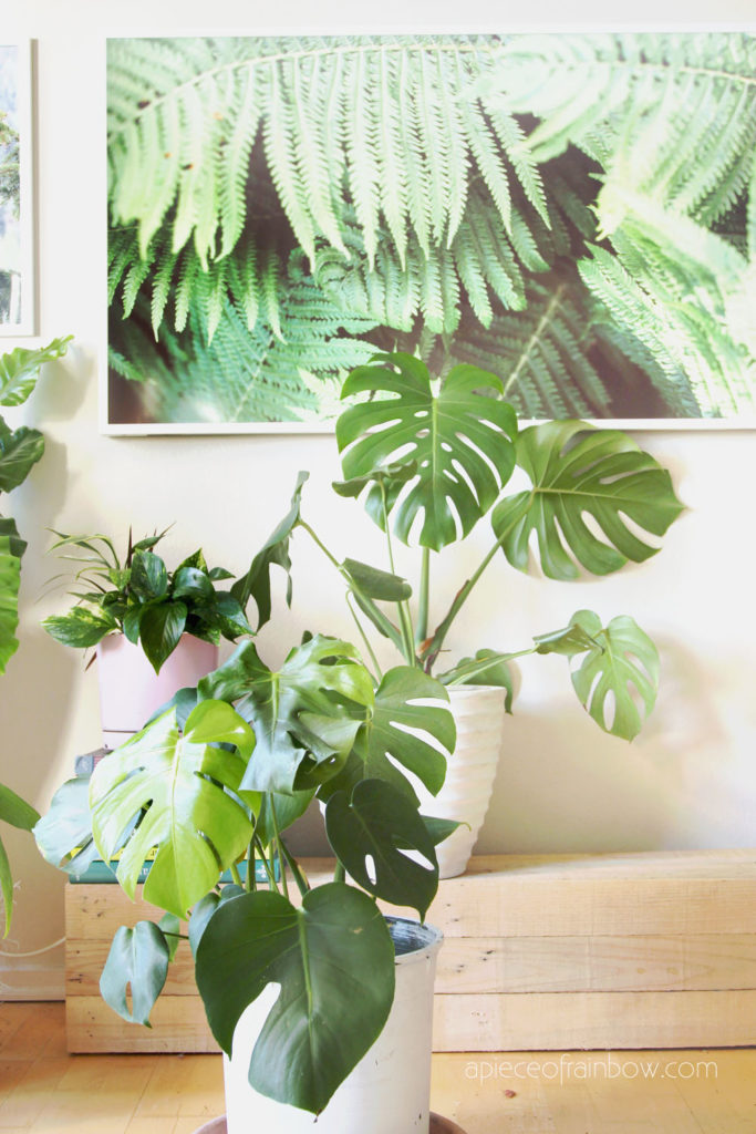 Monstera deliciosa aka Swiss cheese plant: One of the most loved tropical plant with big leavess