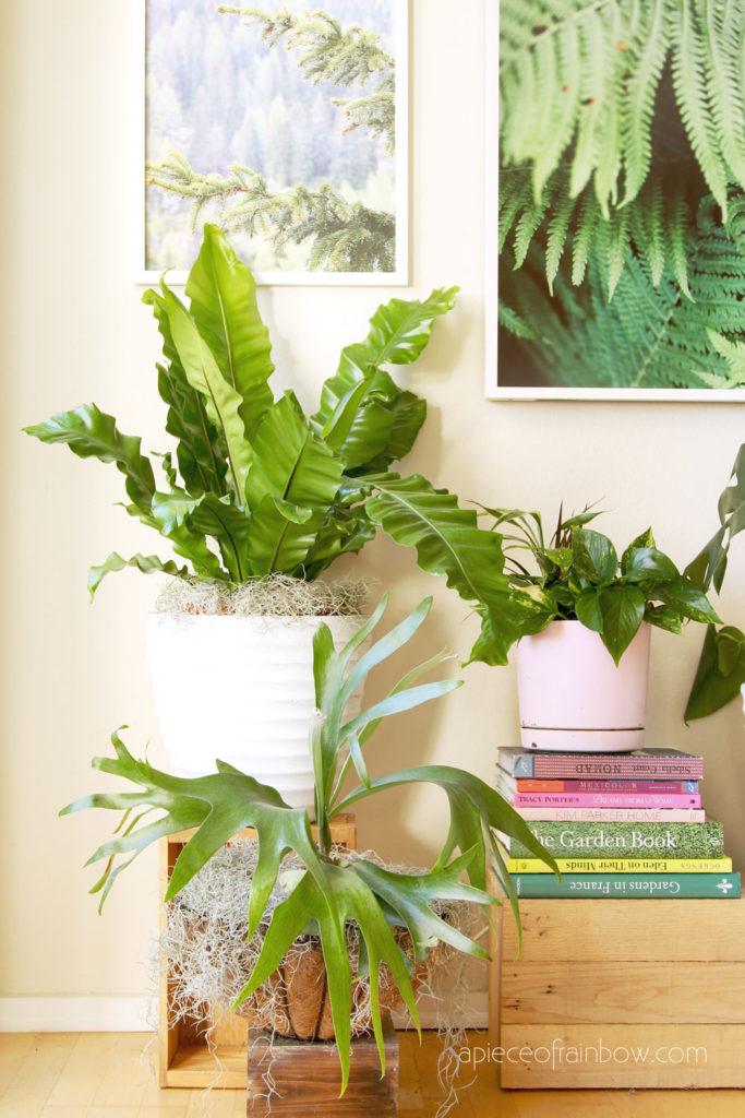 Asplenium nidus, Birds Nest Fern and Stag Horn Fern are Easy house plants with dramatic tropical foliage